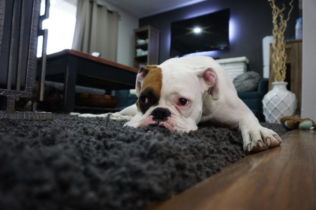 mastite e gravidez psicológica em cachorra