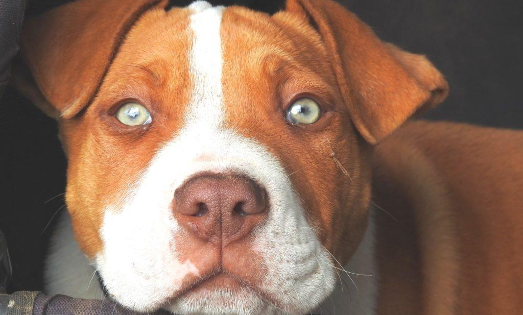 tratamento de cachorro urinando sangue