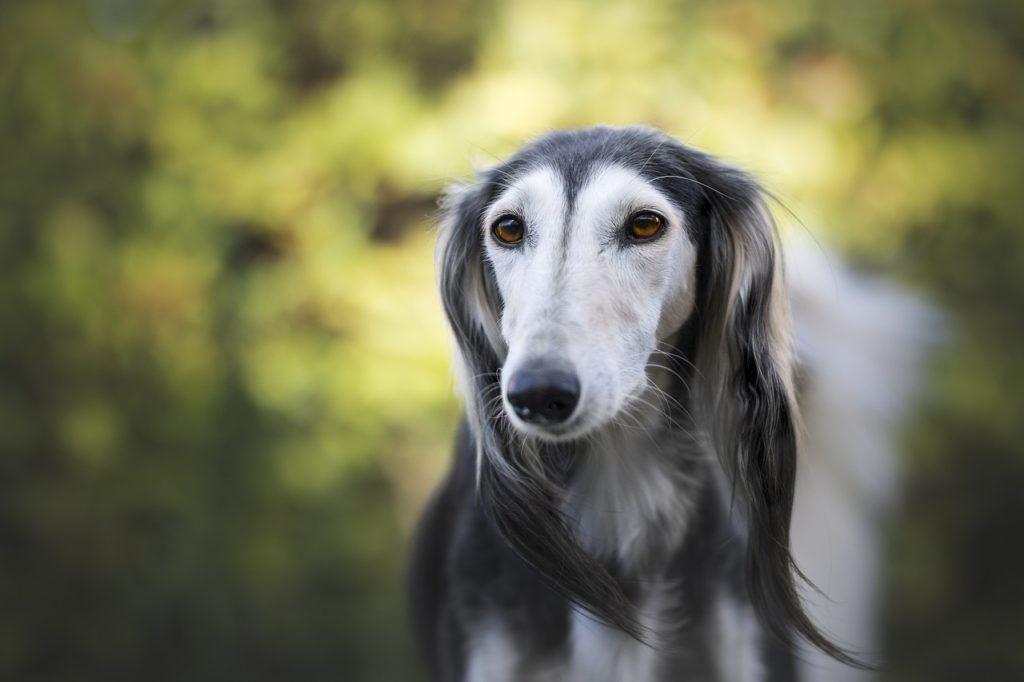 Saúde do Greyhound