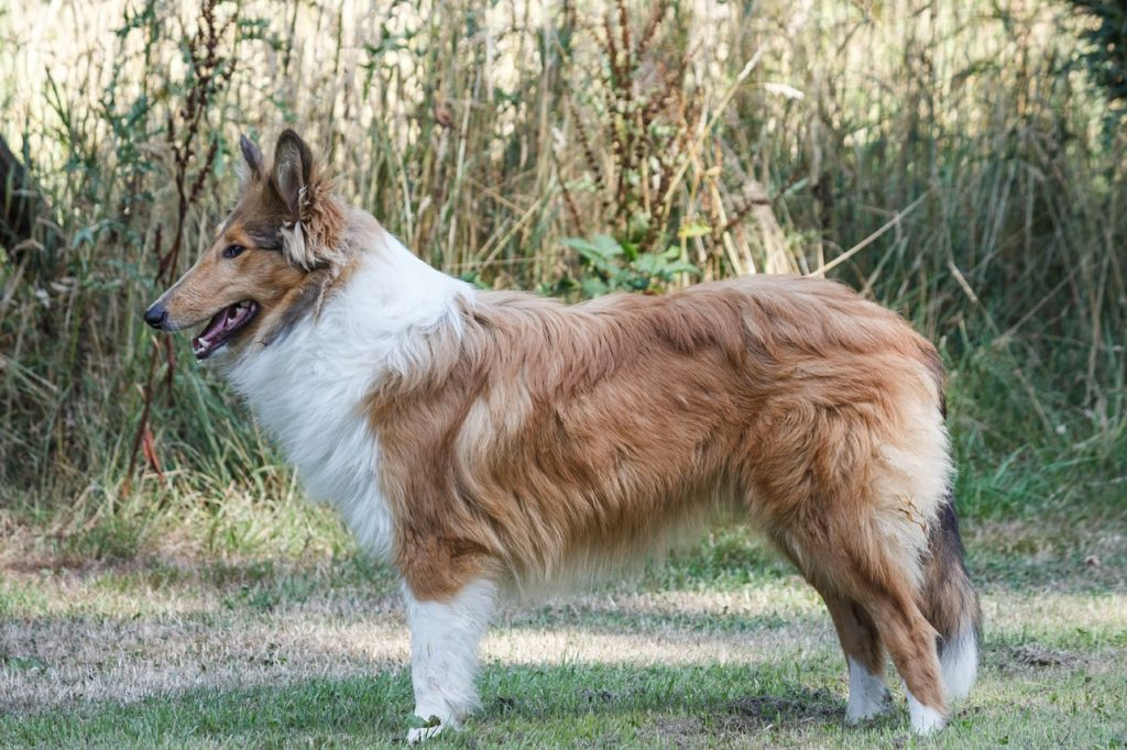 collie fofo