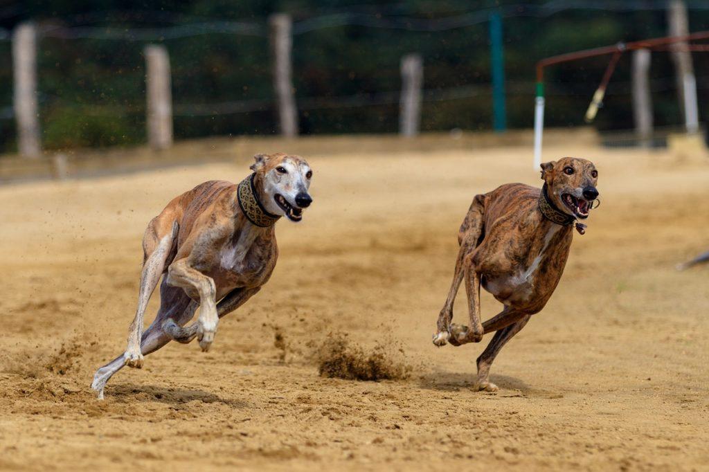 corrida de Greyhound