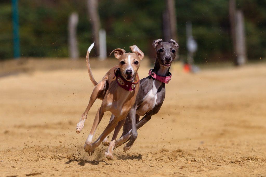 cachorros mais rápidos
