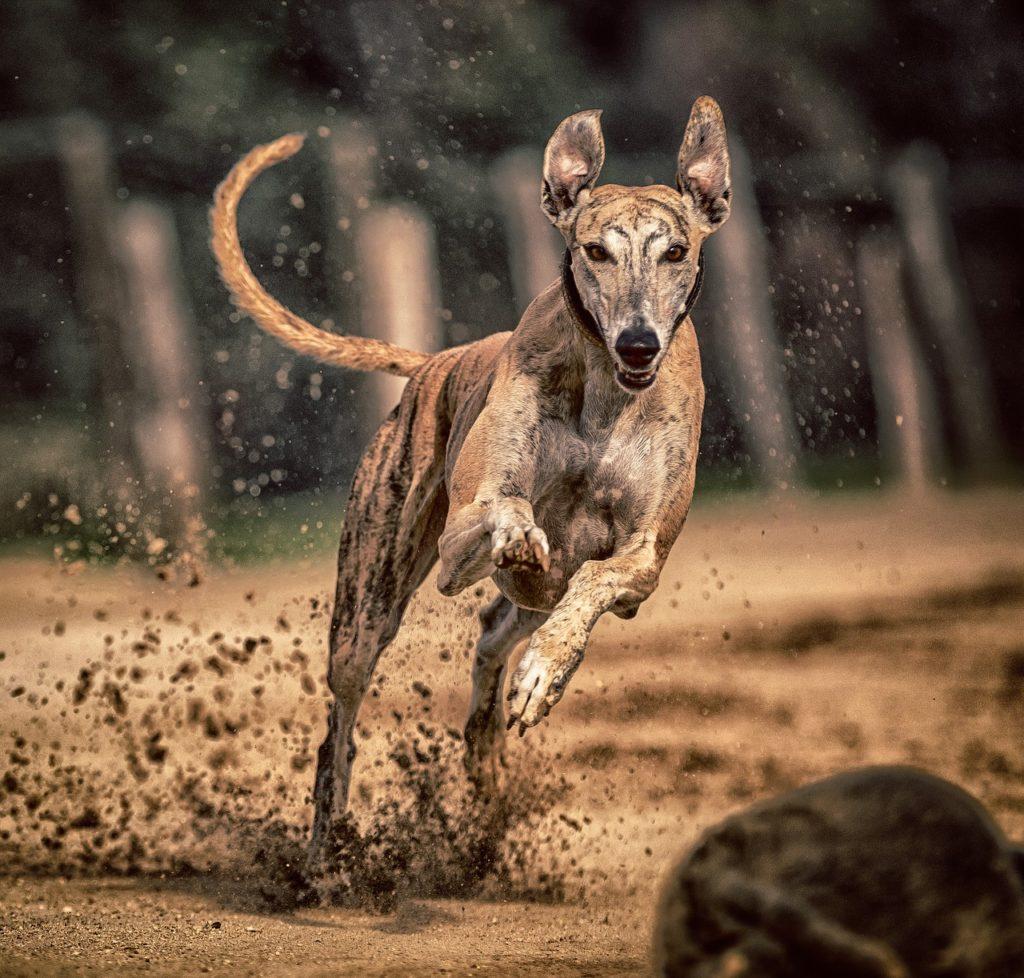 Greyhound Preço