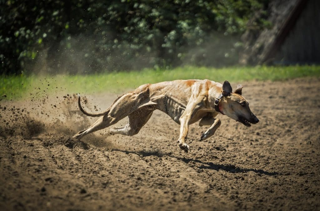 Fotos de Greyhound corrida
