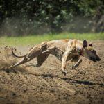 Fotos de Greyhound corrida
