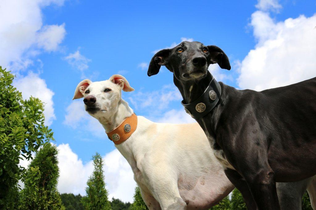 Pelagem do Greyhound