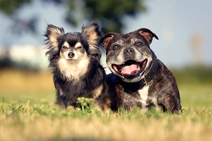 Staffordshire Bull Terrier e outros cães