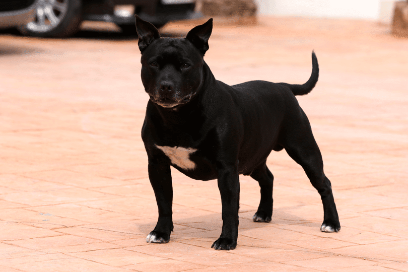 Staffordshire Bull Terrier brincando