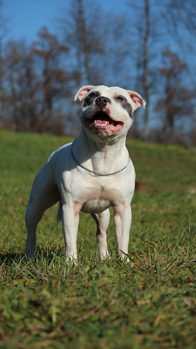 Staffordshire Bull Terrier passeio
