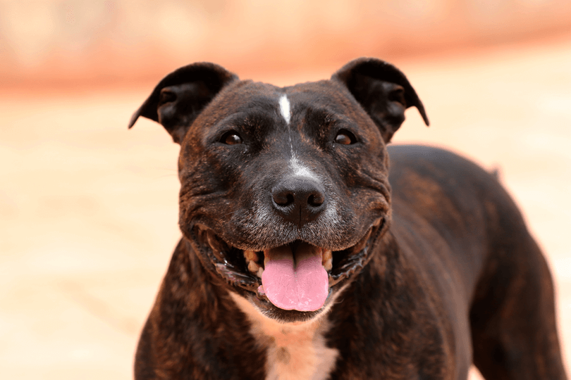 Perguntas sobre o Staffordshire Bull Terrier