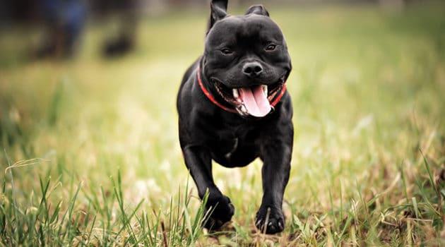 Staffordshire Bull Terrier peso