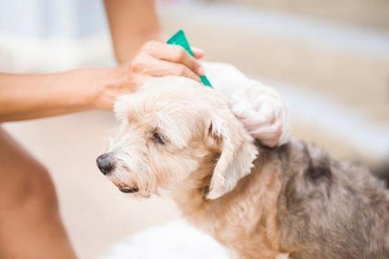 Na foto uma pessoa aplicando um produto em um cão, tal como um remédio caseiro para carrapato.