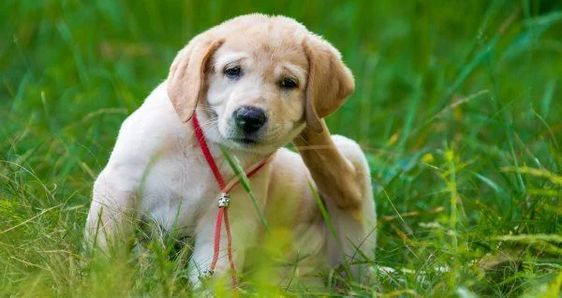 Na foto um cachorro sentado em um gramado se coçando.