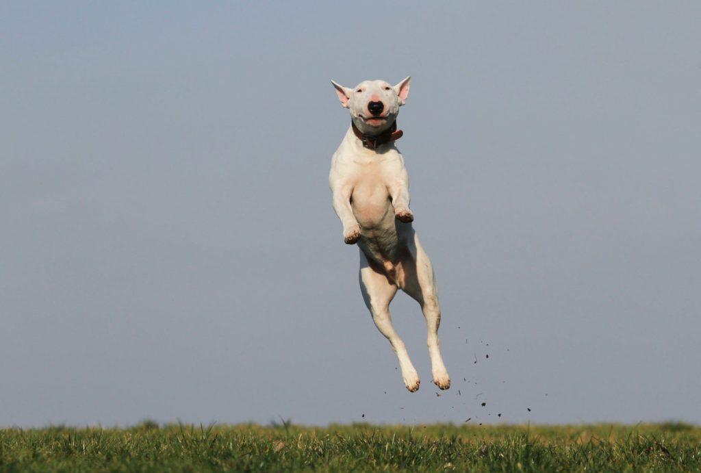 Na foto está um cão da raça Bull Terrier saltando em um gramado.
