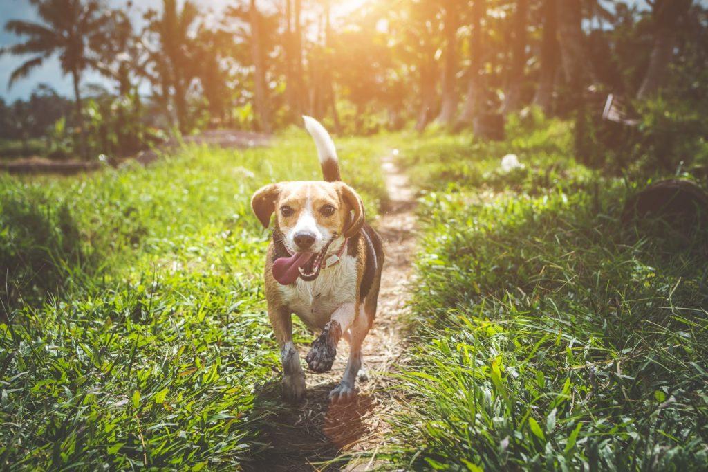 Os cuidados a cada idade dos cachorros são diferentes e na foto está um cão da raça Beagle andando em meio a árvores e gramas em um dia ensolarado.