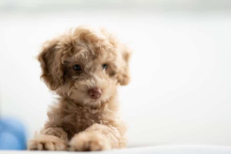 Os cuidados a cada idade dos cachorros são diferentes e na foto há um cão filhote com pelos na cor bege deitado.
