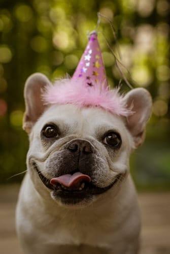 Na foto um cachorro da raça Bulldog  Francês comemorando mais um ano de idade canina usando um chapéu de aniversário