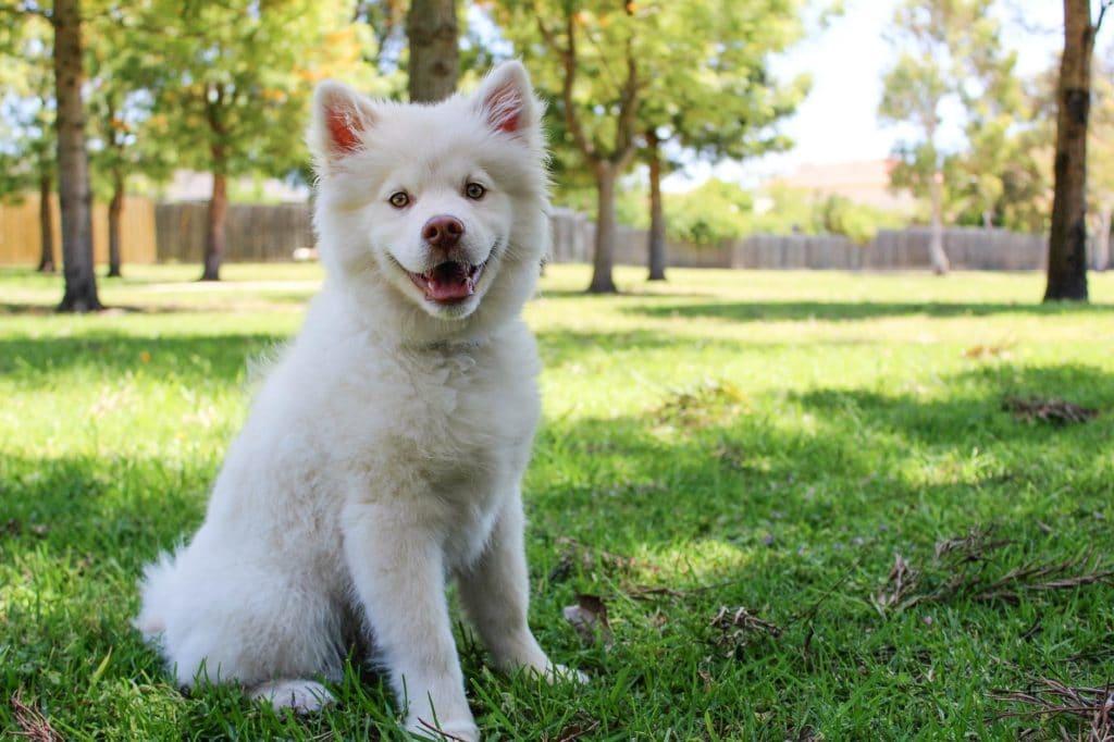 A idade dos cachorros é definida a partir do porte do cão e na foto há um cachorro branco filhote de porte grande sentado em uma gramado.