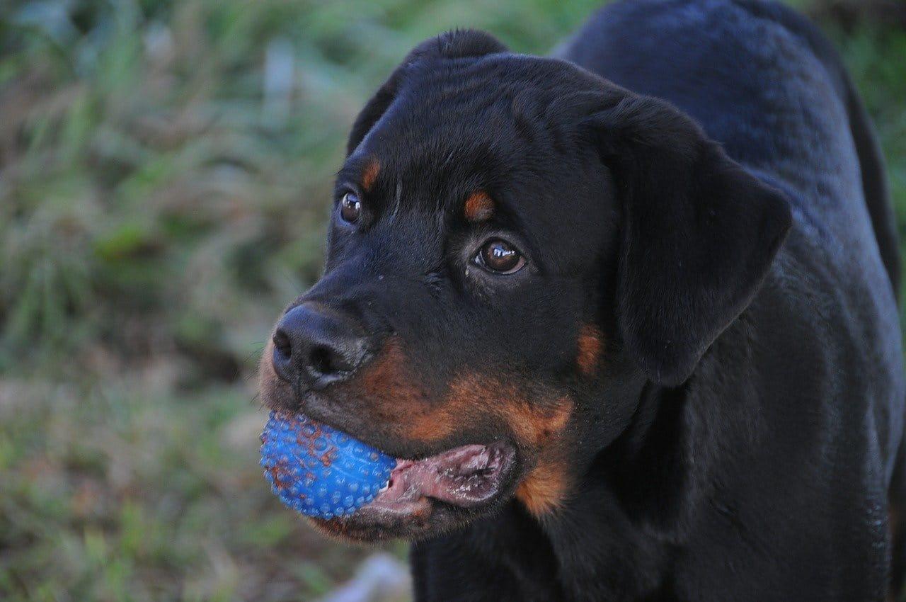 Na foto um cachorro da raça Boxer com uma bolinha azul na boca.