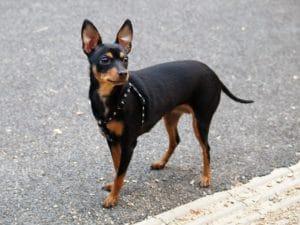 Menor cachorro do mundo: Prague Rattler