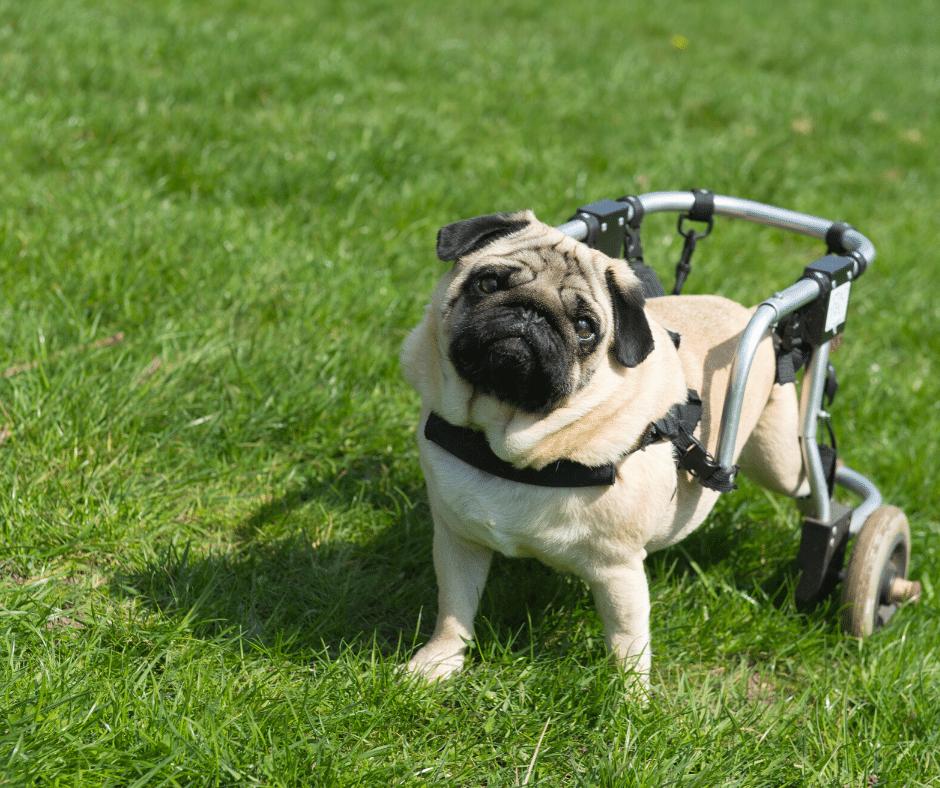 cachorro em cadeira de rodas