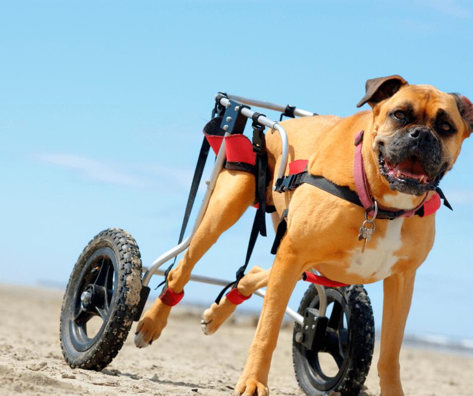 cachorro grande em cadeira de rodas