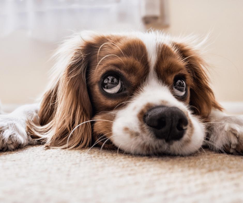 cachorro chorando