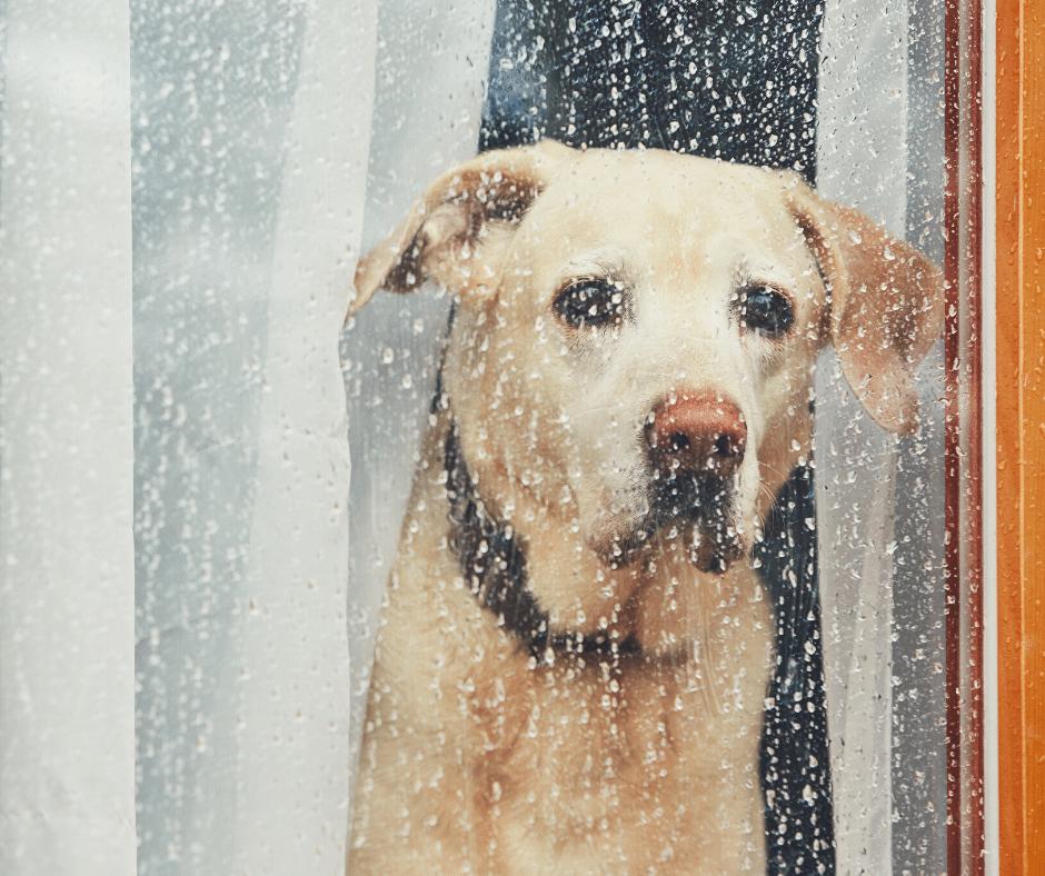 cão solitário na janela
