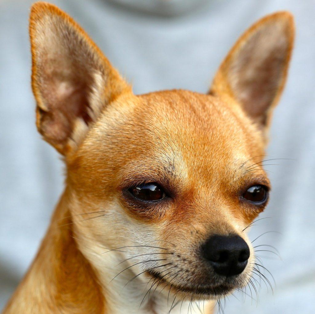 O menor cachorro do mundo é o Chihuahua!