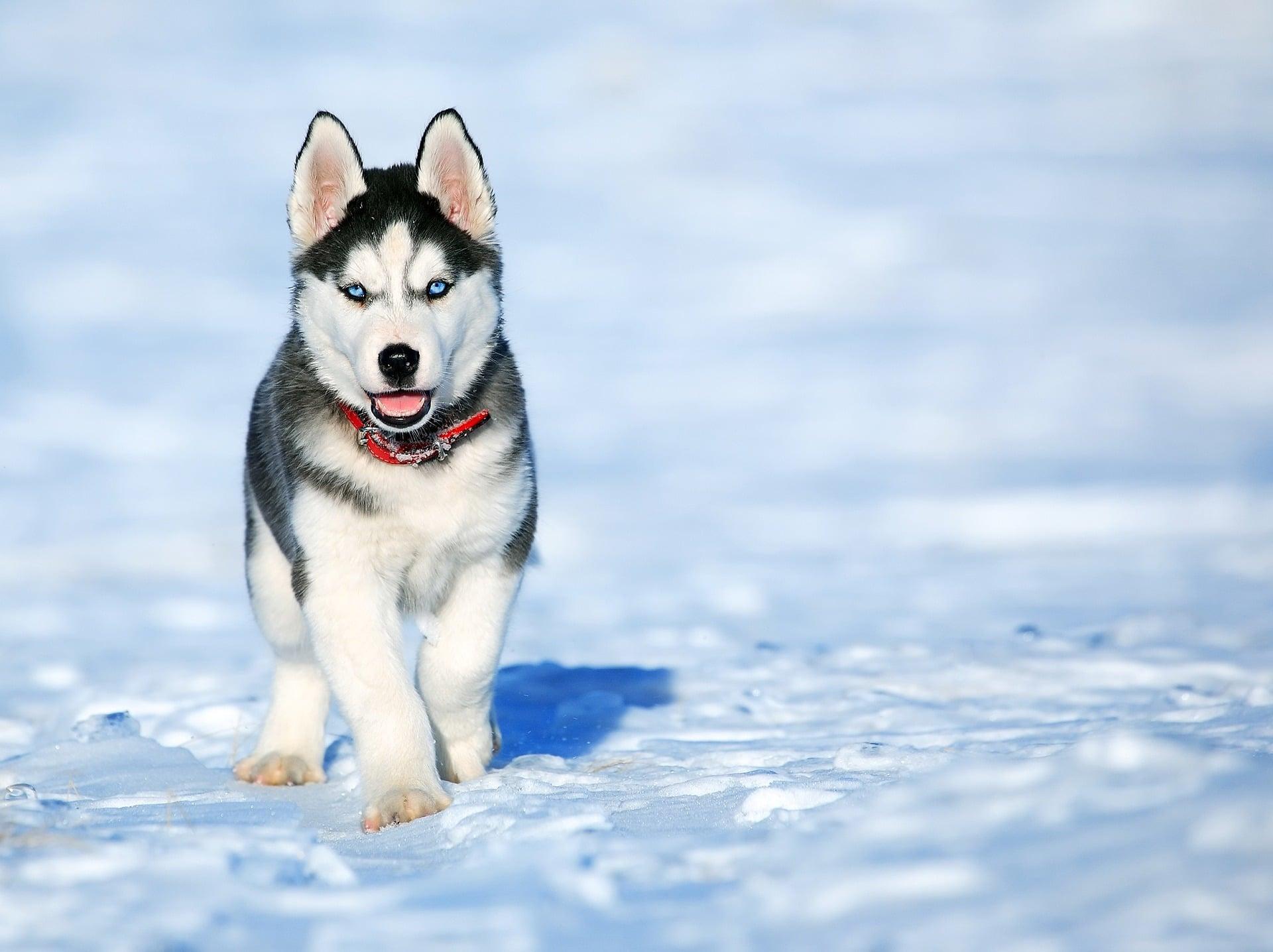 Na foto um cachorro da raça Husky Siberiano no meio de um local com neve.